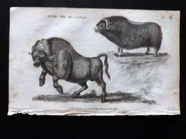 Shaw 1800 Antique Print. Musk Ox